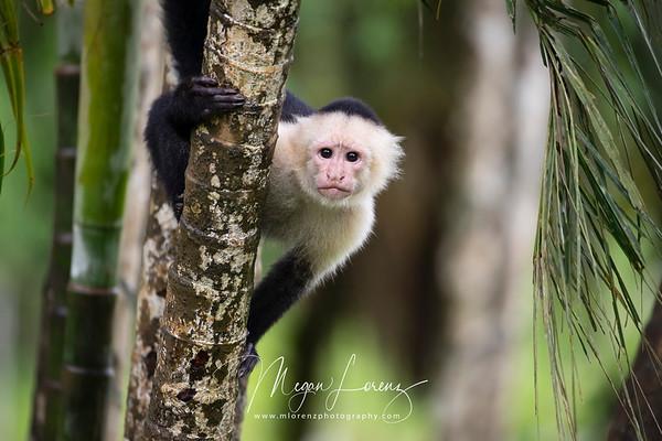 White-faced Capuchin in Costa Rica.
