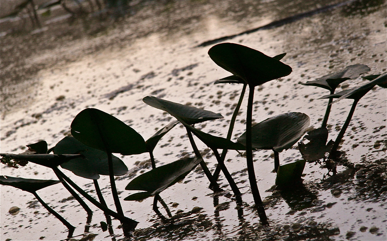 Waterlillies in Carnegie Lake