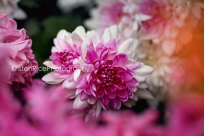 Chrysanthemum Pink White Kristen Rice