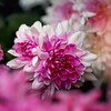 Chrysanthemum Pink White Kristen Rice