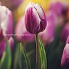 tulip Kristen Rice