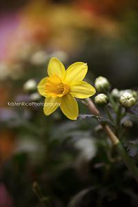 Mini Daffodil Kristen Rice