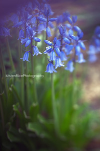 Wood hyacinth spanish bluebells kristen rice