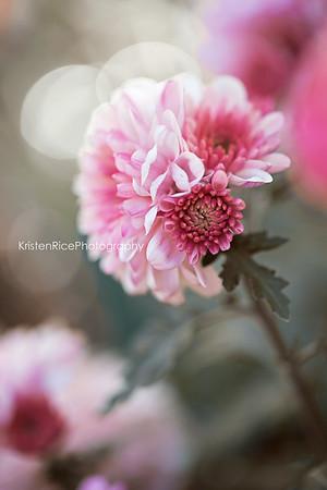 Pink Chrysanthemum Kristen Rice