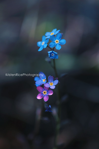 Forget me nots Kristen Rice