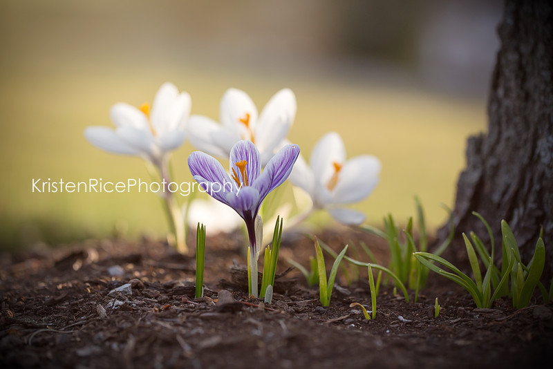 crocus kristen rice