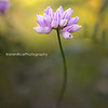 purple crown vetch 1
