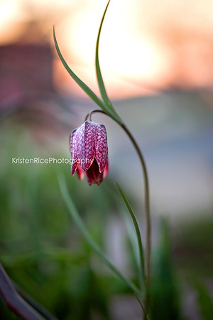 Checkered Fritillaria Kristen Rice