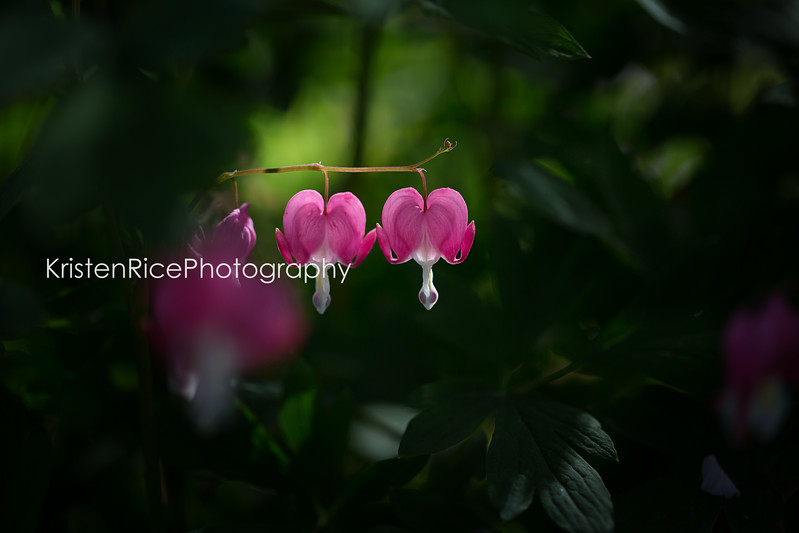 Bleeding hearts pink Kristen Rice