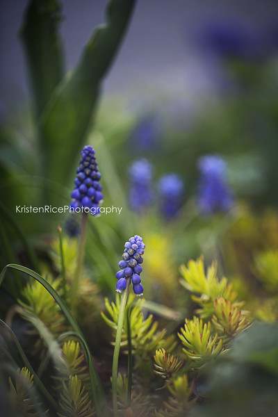 Grape Hyacinth Sedum Angelina Kristen Rice