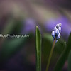 Striped Squill bud Kristen Rice Spring flower
