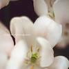White tulips open flowers buffalo NY