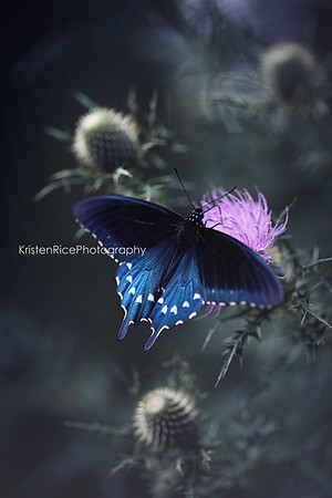 Pipevine swallowtail butterfly Kristen Rice Asheville nc