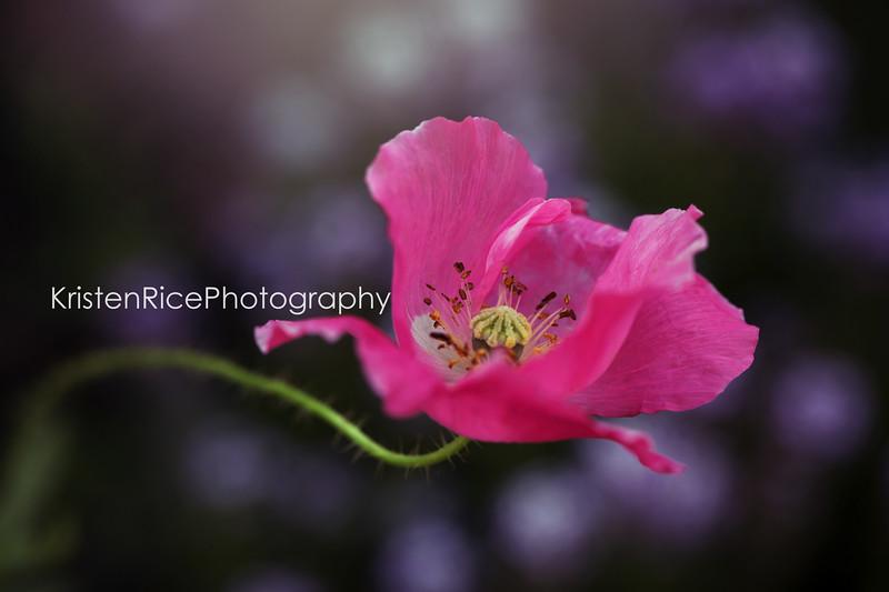 Pink Poppy Kristen Rice Buffalo NY