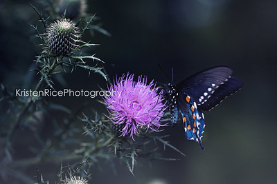 Pipevine swallowtail butterfly Kristen Rice Asheville nc 2