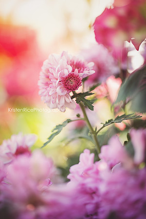 Pink Chrysanthemum 2 Kristen Rice