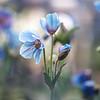 Himalayan Blue Poppy Kristen Rice