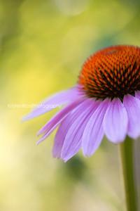 Echinacea