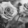 BW roses 4