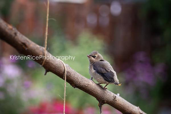 Cedar Waxwing fledgling 1 Kristen Rice