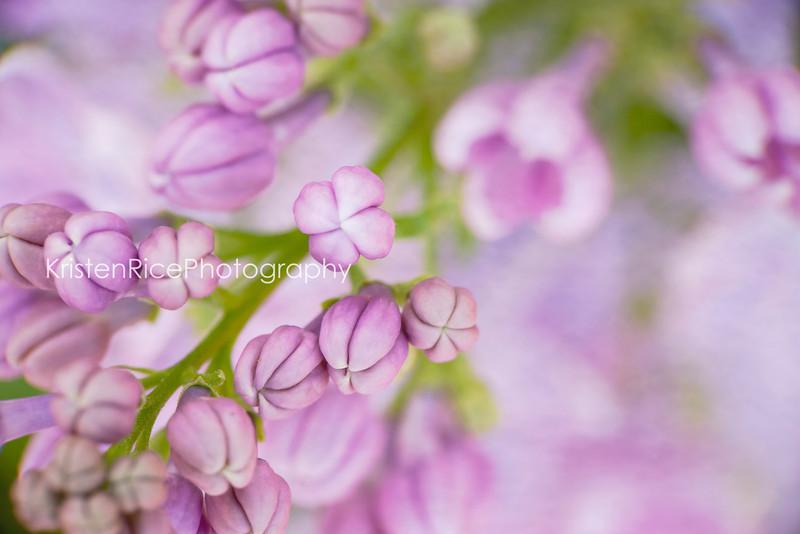Lavender purple flowers