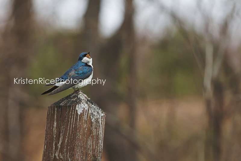 Tree Swallow singing