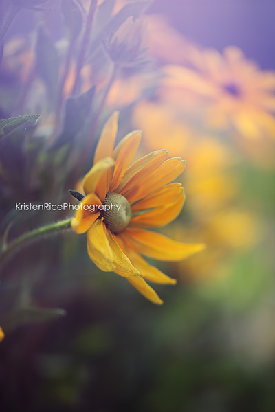 Irish Eyes Black Eyed Susan Kristen Rice