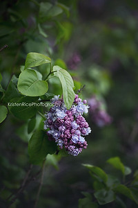 blue lilacs Kristen Rice Highland Park