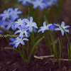 Chionodoxa glories of the snow spring star flower blue