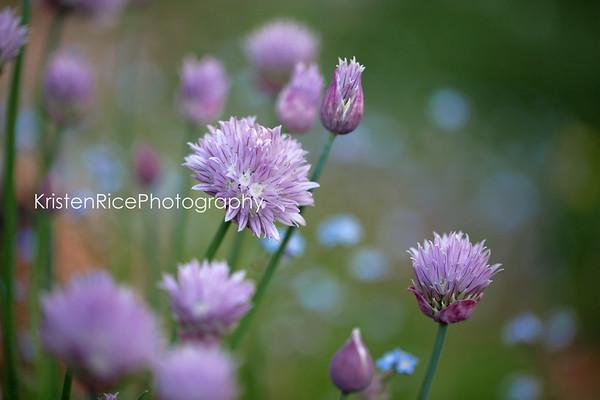 Onion flowers Kristen Rice