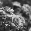 BW roses