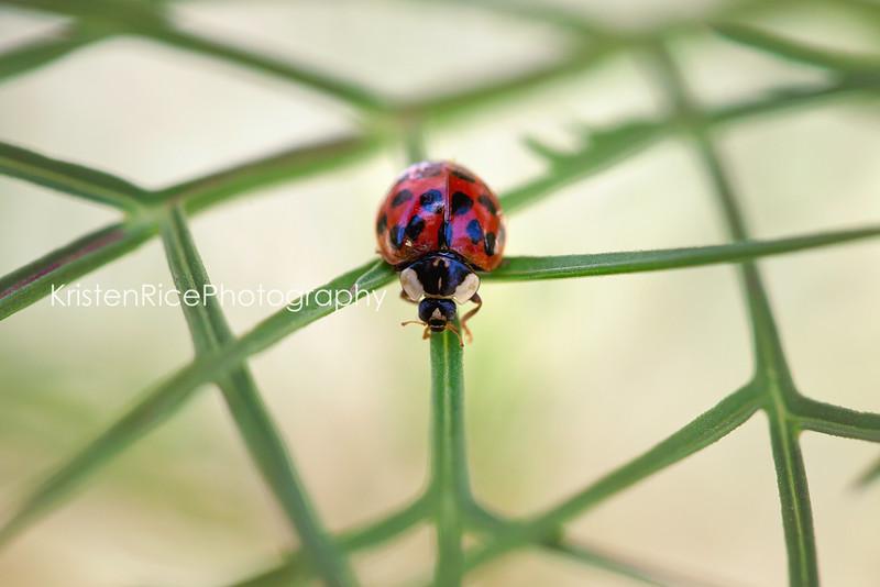 ladybug kristen rice
