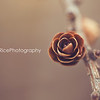 pinecone rose