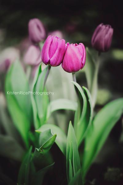 tulip dance 2