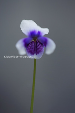 blue white australian violet Kristen Rice