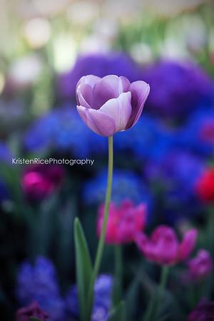 Silver tulip Spring Flower Kristen Rice