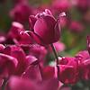 pink magenta tulip kristen rice