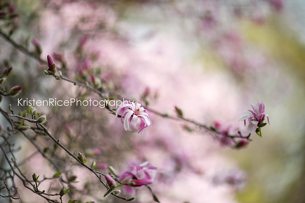 star magnolia Kristen Rice 2