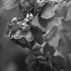 BW Roses 3