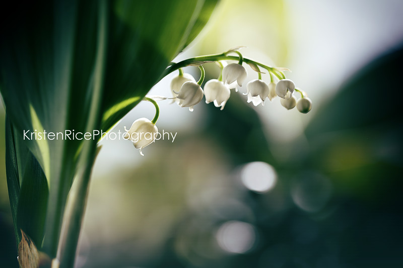 Lily of the Valley Kristen Rice