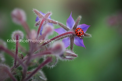 Ladybug on borage Kristen Rice