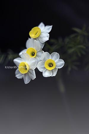 Mini Daffodils blue