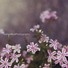 Candy Striped Phlox Kristen Rice