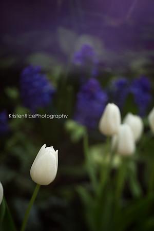 White tulip Kristen Rice Erie county botanical gardens buffalo ny
