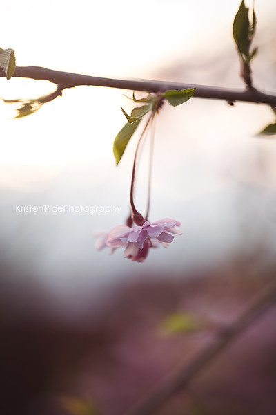 Cherry Blossom single Kristen Rice Photography