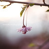 Cherry Blossom single Kristen Rice Photography
