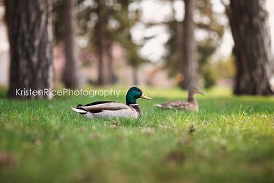 Wood Duck Kristen Rice