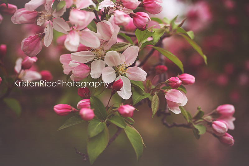 Apple Blossoms Kristen Rice Photography