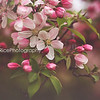 Apple Blossoms Kristen Rice Photography