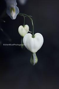White Bleeding Heart Kristen Rice